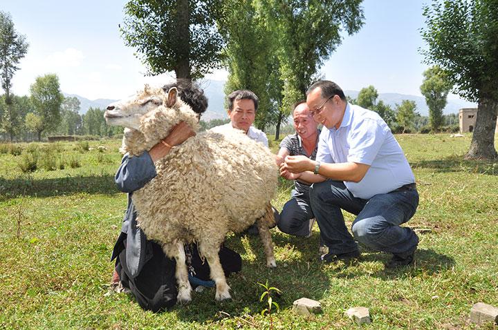 木乃尔什和同事在鉴定半细毛种羊
