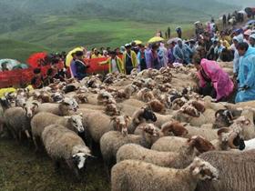 彝族高山牧民举行盛大剪羊毛节