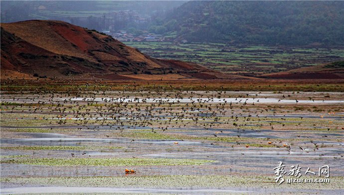 湿地群鸟-林嘉岷