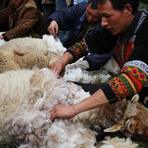 美姑县第二届剪羊毛节活动掠影