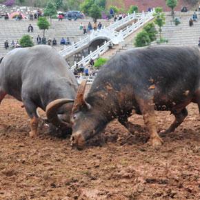 走遍云南之石林彝家打架牛
