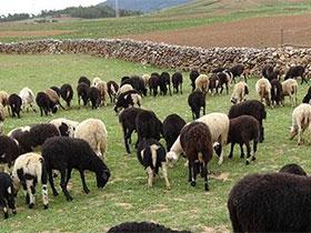 宁蒗县六十周年系列报道之九:牛羊欢歌奔富路——— 宁蒗彝族自治县畜牧兽医局发展纪实