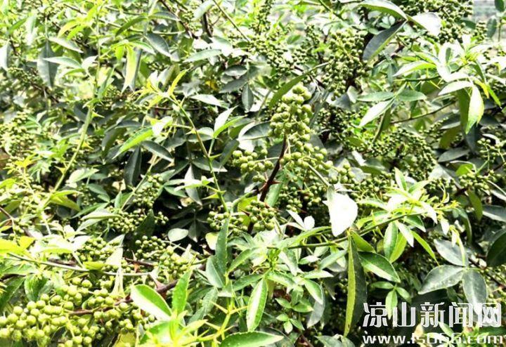 种植花椒是悬崖村未来的致富路径之一。