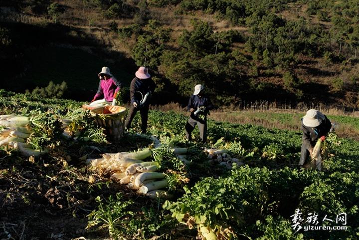2018年 1月22日 。云南省江川区放马村。农民们正在拔萝卜,削皮准备加工成萝卜丝。