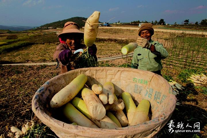 2018年 2月10 日。云南省江川区放马村。一对农民老夫妻正在采收萝卜。