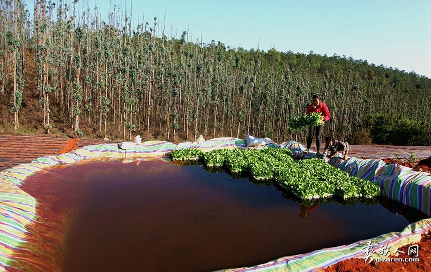 2020年4月19日。云南省玉溪市红塔区干高仓街道海子村。由于持续干旱,到了烟苗移栽期,烟农在自家地里建起了简易小水塘,供烟苗浇水时取用。同时水塘里也可以放置保存烟苗,方便栽种时取用。