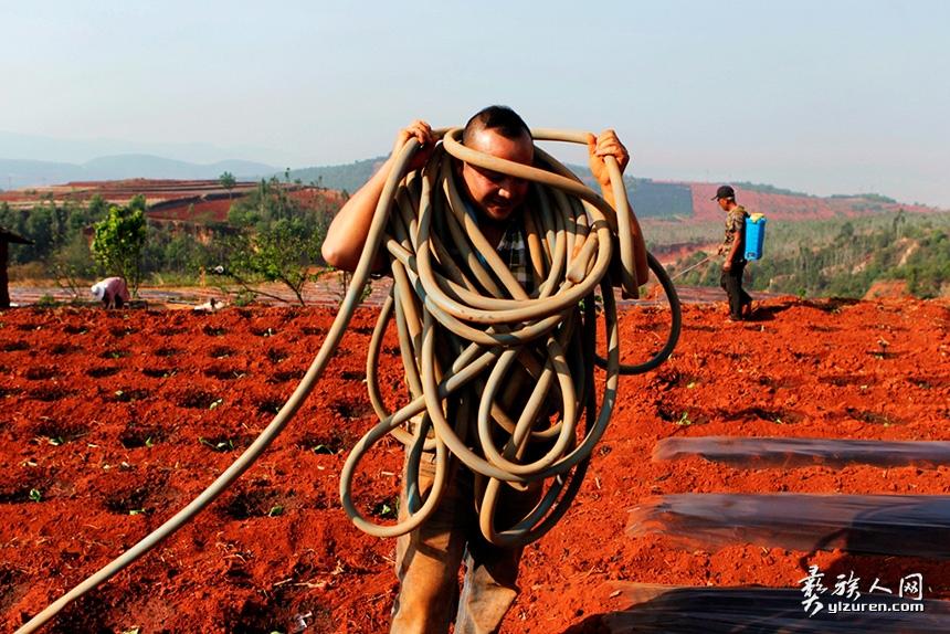 2019年4月21日。云南省玉溪市红塔区干高仓街道海子村。由于干旱,种下去的烟苗得大量依靠人工浇水.这户人家种烟二十多亩。面积大,为便于在烟地里拉长和收缩水管,这位健壮的男子把水管缠在自己的身上,方便调整水管确保每个角落都浇得到水。