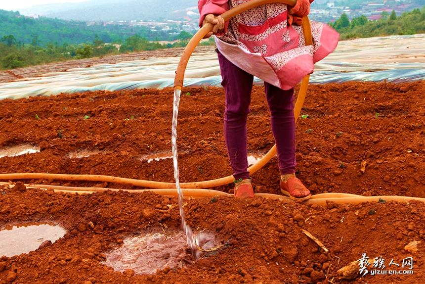"""2019年4月21日。云南省玉溪市红塔区龙树村。烟农正在给准备种烟的墒塘里先浇水。俗称浇""""定根水""""。"""