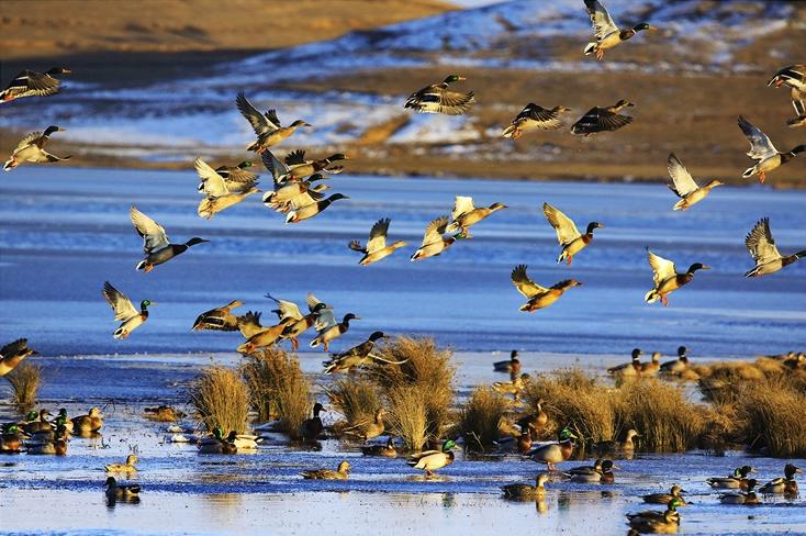 绿头鸭 邓吉昌(摄)凉山州文化广播电视和旅游局供图