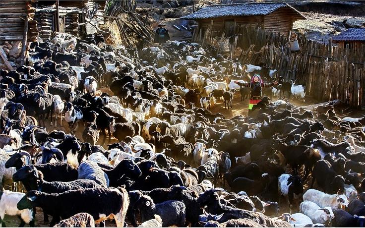 致富羊 邹森 (摄)凉山州文化广播电视和旅游局供图