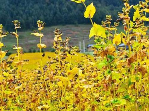 植物的文化意涵:聚焦小凉山彝族毕摩仪式
