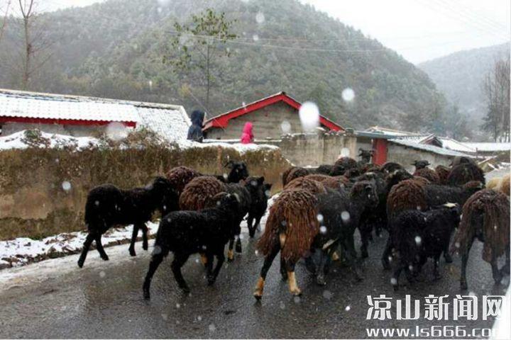路边的羊群。